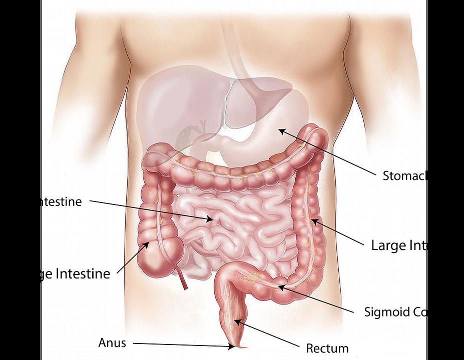 Comment fonctionne notre tractus gastro-intestinal ?
